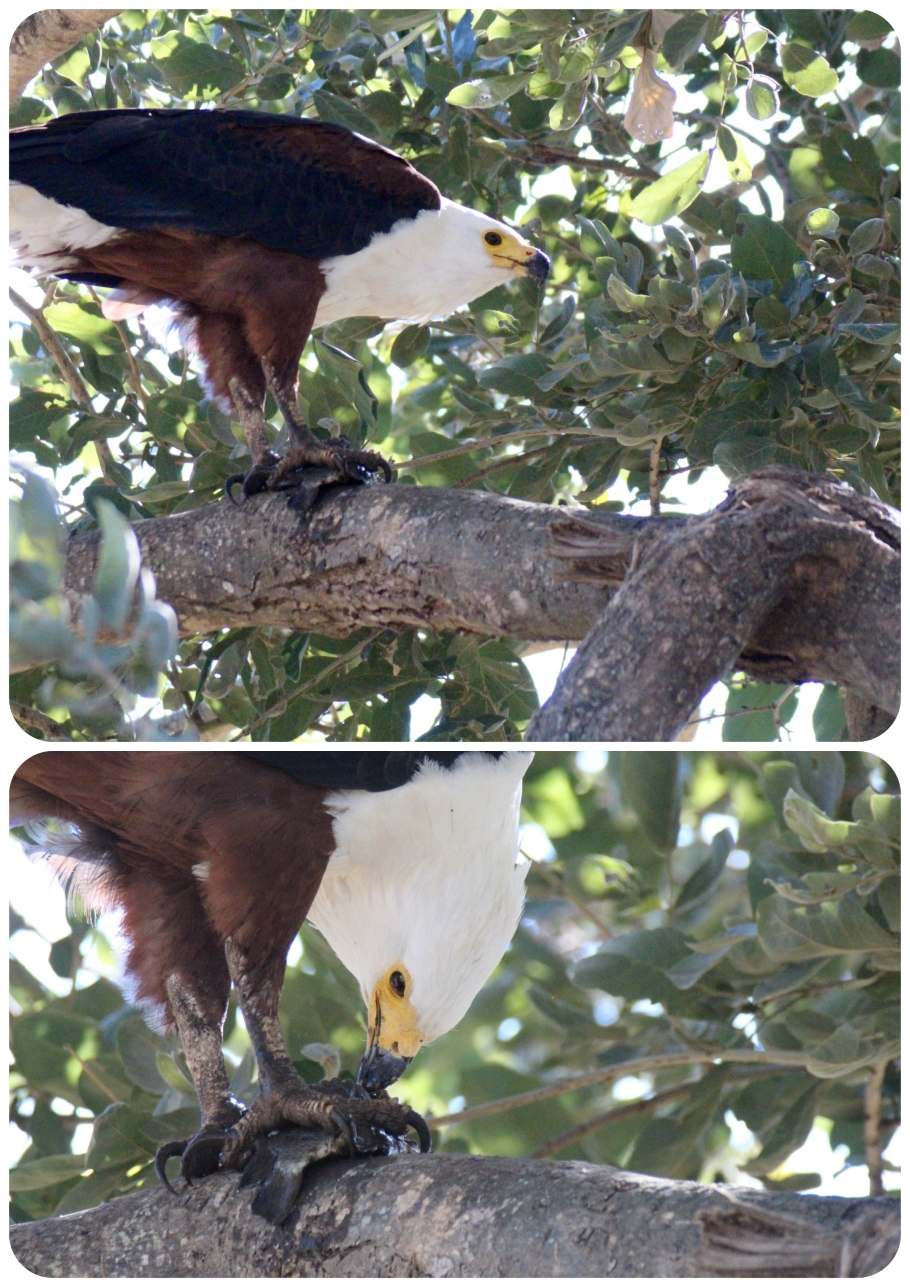fish eagle.jpeg