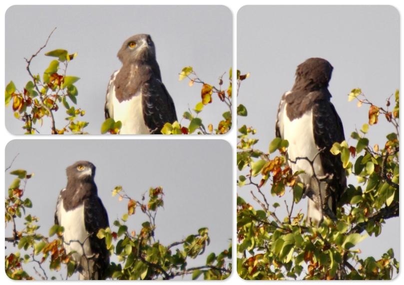 snake eagle.jpeg